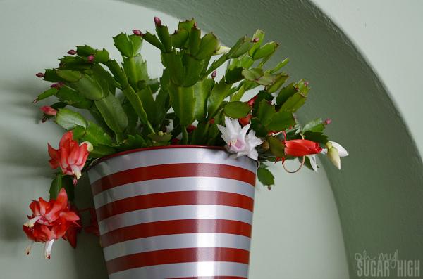 Proflowers Christmas Cactus